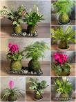 Kokedama - kokedamy - pokojové rostliny
